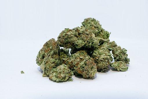 susz marihuany cbd
